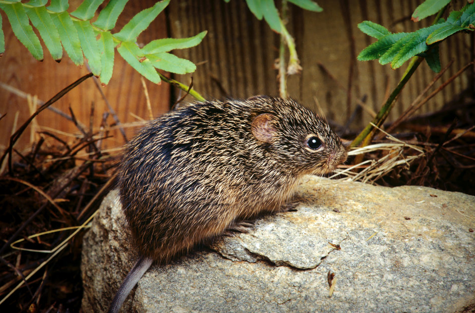 This photograph depicts a cotton rat, Sigmodon hispidus, whose habitat includes the southeastern United States, and way down into Central an