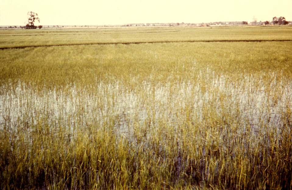 This 1981 photograph depicted a normally very wet California ricefield, which also became a perfect breeding ground for arboviral vector pes