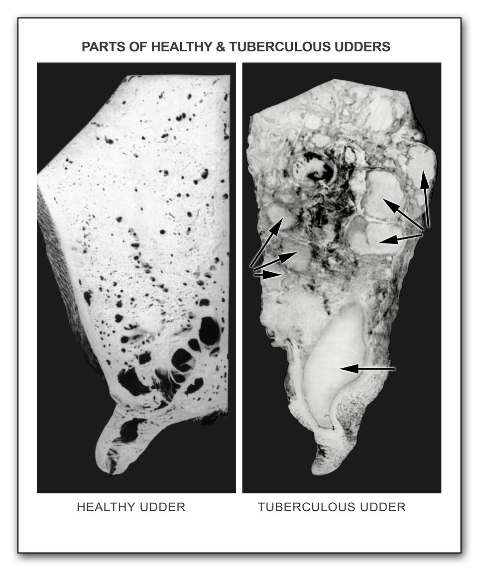 These two 1929 photographs depicted a comparison between a healthy bovine udder on the left, and a tuberculous cow's udder on the right. The