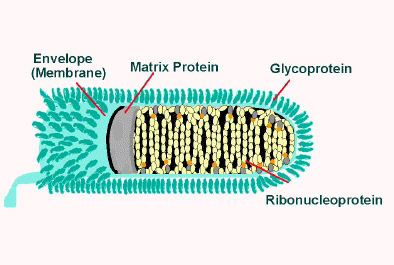 Illustration of rabies virus in longitudinal section.