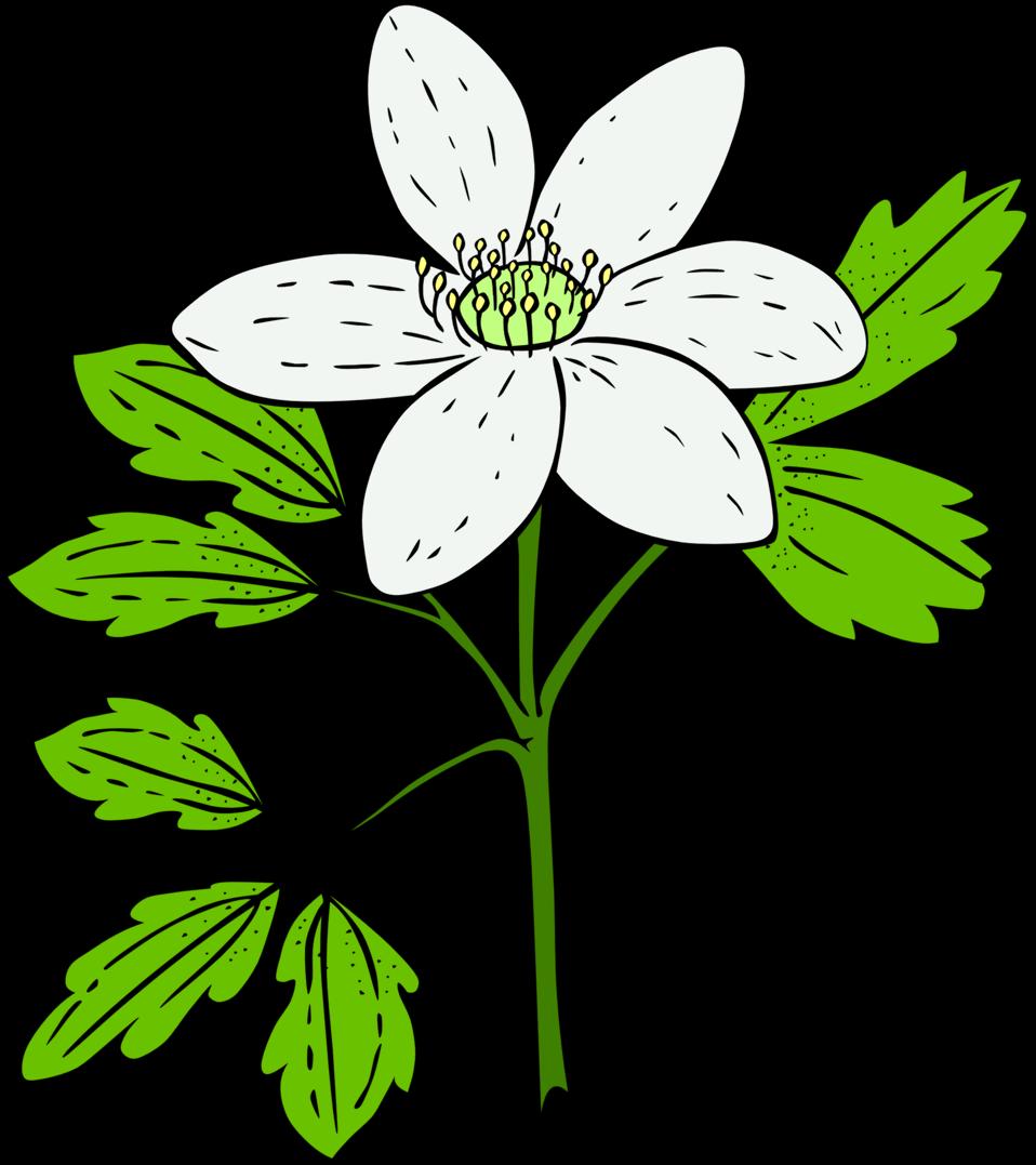 KU Anemone Piperi