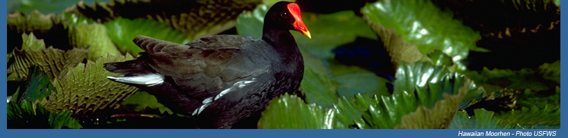 Hawaiian moorhen - Pacific Islands Fish and Wildlife Office