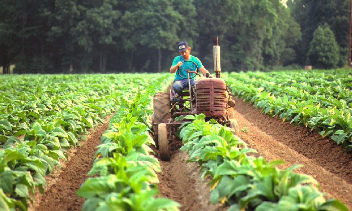 Tobacco farmer on tractor in tobacco field.
