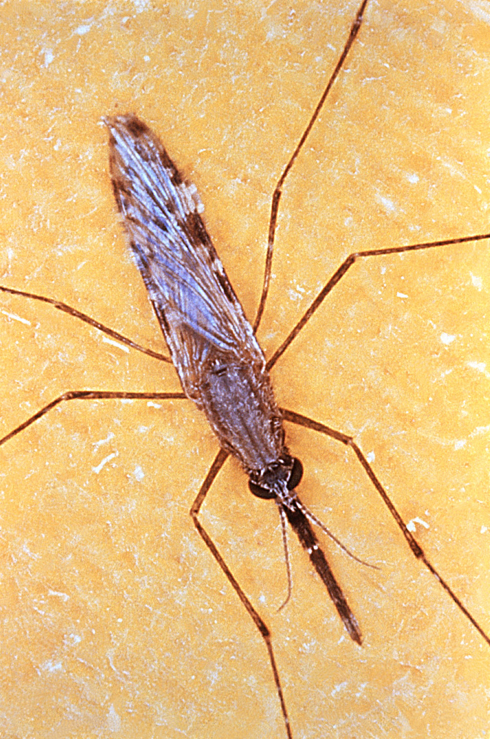 This is an Anopheles gambiae mosquito, which is a known vector for the malarial parasite.