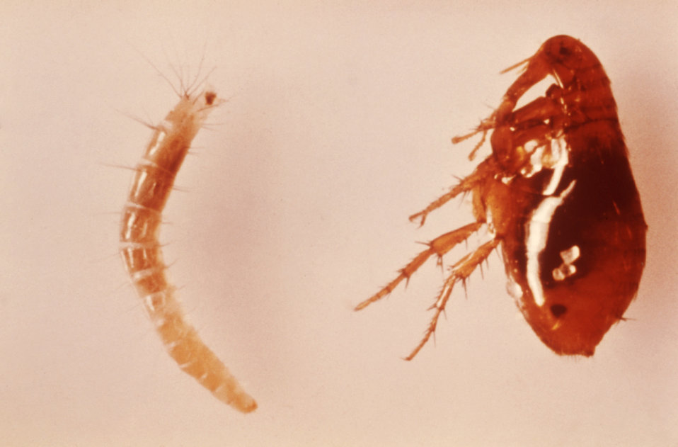 Shown here is a larva (left), and an adult female (right) of the oriental rat flea, Xenopsylla cheopis.