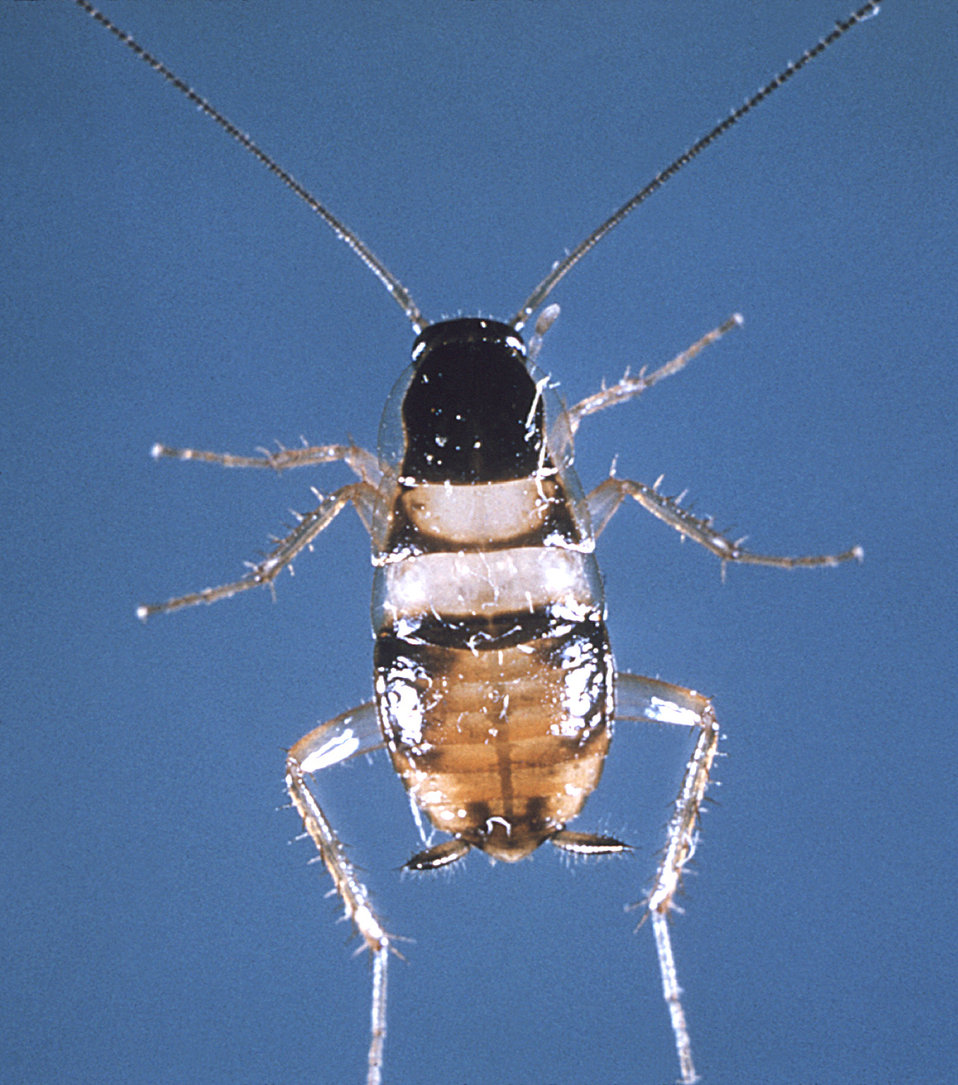 """This is a dorsal view of an adult """"brown banded"""" cockroach, Supella longipalpa."""
