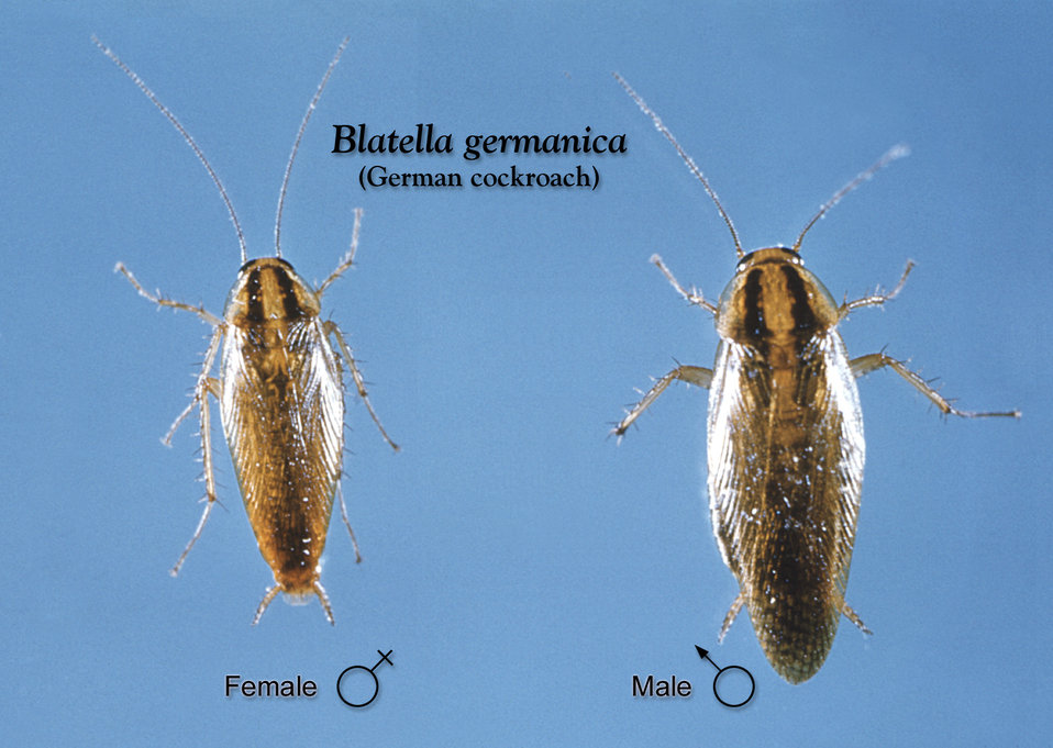 This image depicts a dorsal view of a female (Lt), and a male (Rt) German cockroach, Blatella germanica.
