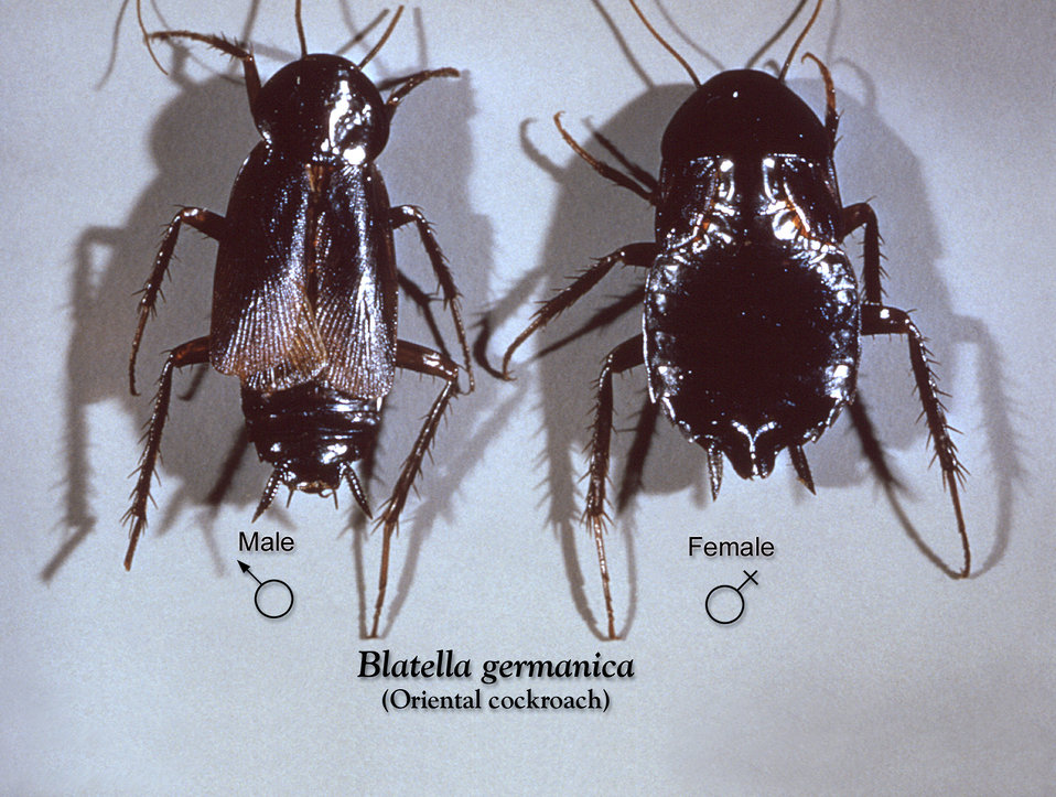 This image depicts a dorsal view of a male (Lt), and a female (Rt) Oriental cockroach, Blatella orientalis.