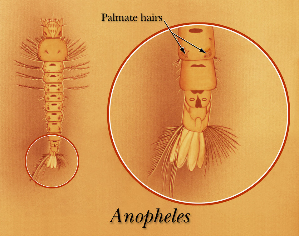 An illustration identifying the palmate hairs of an Anopheles mosquito larva.