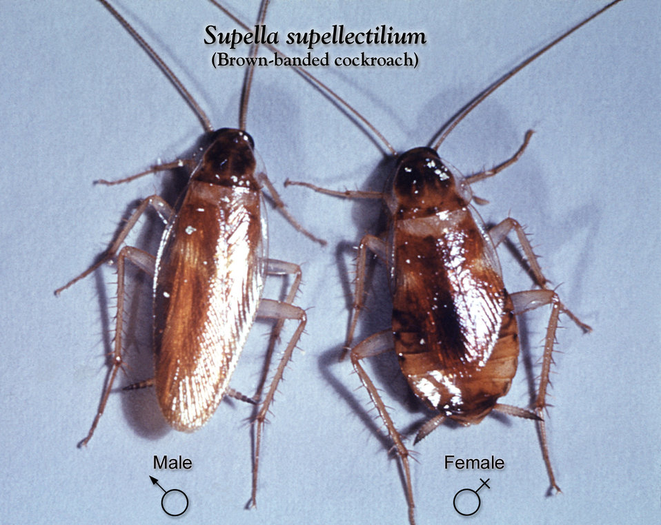 This image depicts a dorsal view of a male (Lt), and a female (Rt) brown -banded cockroach, Supella supellectilium.