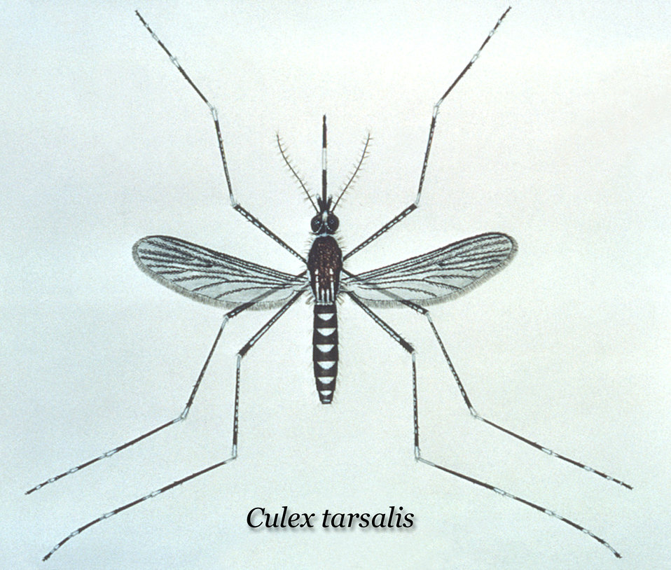 This illustration depicts a dorsal view of a Culex tarsalis mosquito, a vector of many epidemiologic-based diseases.