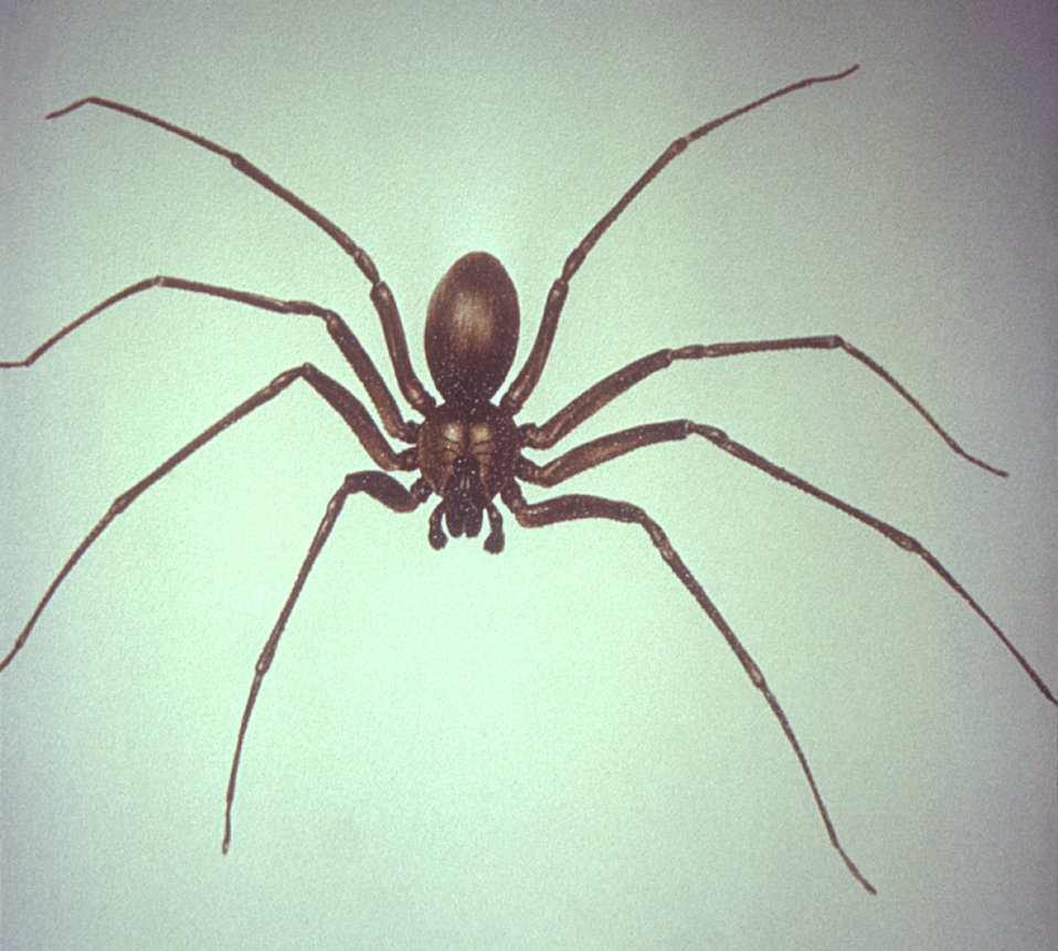 This is a dorsal view of a brown recluse spider, Loxosceles reclusa, able to inflict a highly venomous bite.