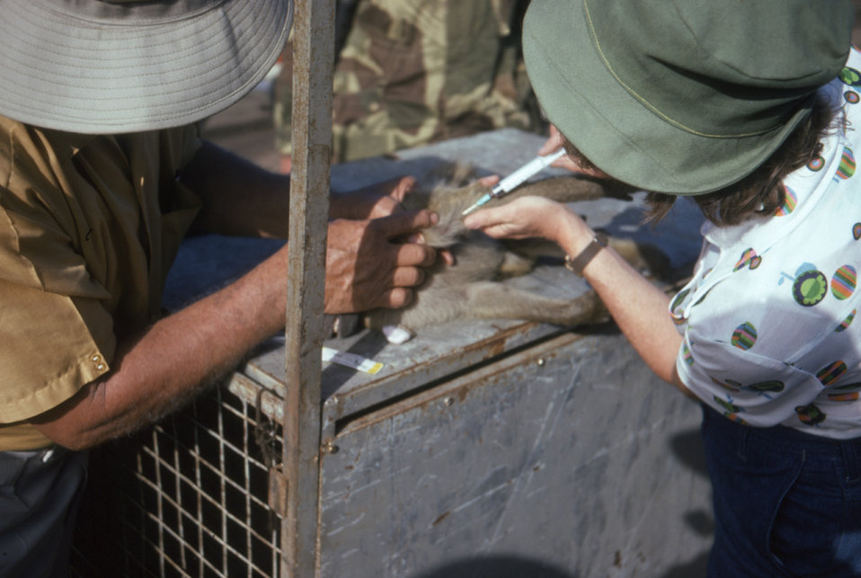 This photograph shows P. Geldenhuys (Lt), and M. Isaacson extracting a blood sample from a green monkey, Cercopithecus aethiops, during a Ma