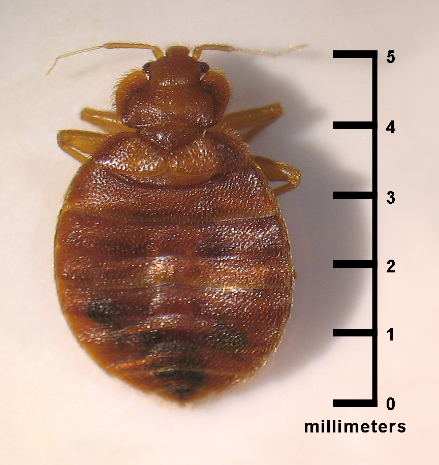This image depicts a dorsal view of an adult, Cimex lectularius bed bug.
