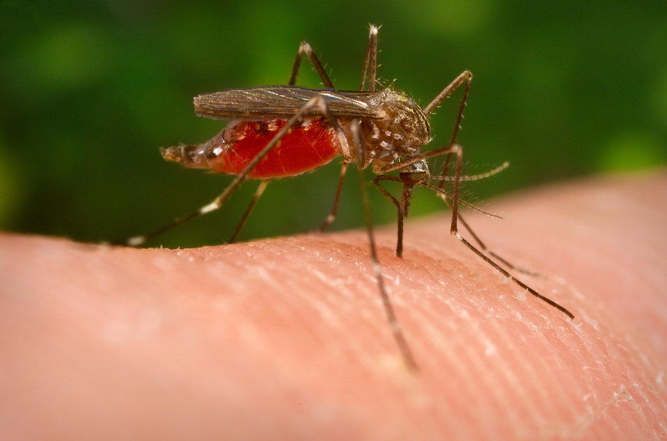 This mosquito, known as Aedes japonicus (also called Ochlerotatus japonicus), is a specimen of the Notre Dame colony. This Asian mosquito wa