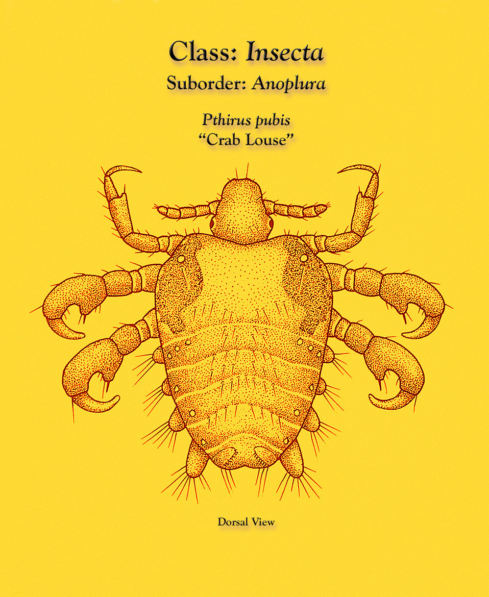This illustration depicts a dorsal view of a 'crab louse', Pthirus pubis, a member of the suborder Anoplura, or 'sucking lice'.