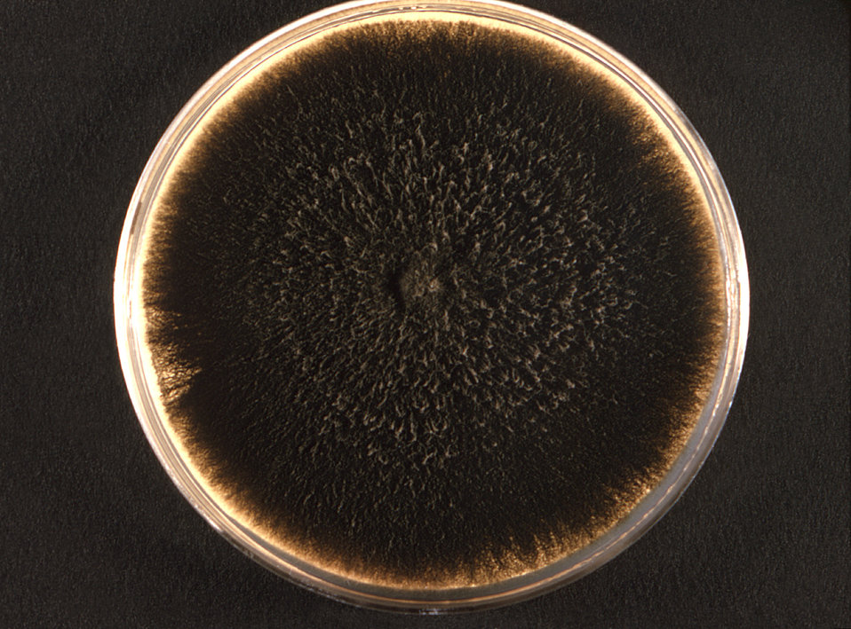 Photographed from the front, this 1971 image depicted a Petri dish within which a Bipolaris hawaiiensis fungal colony had been cultured. On