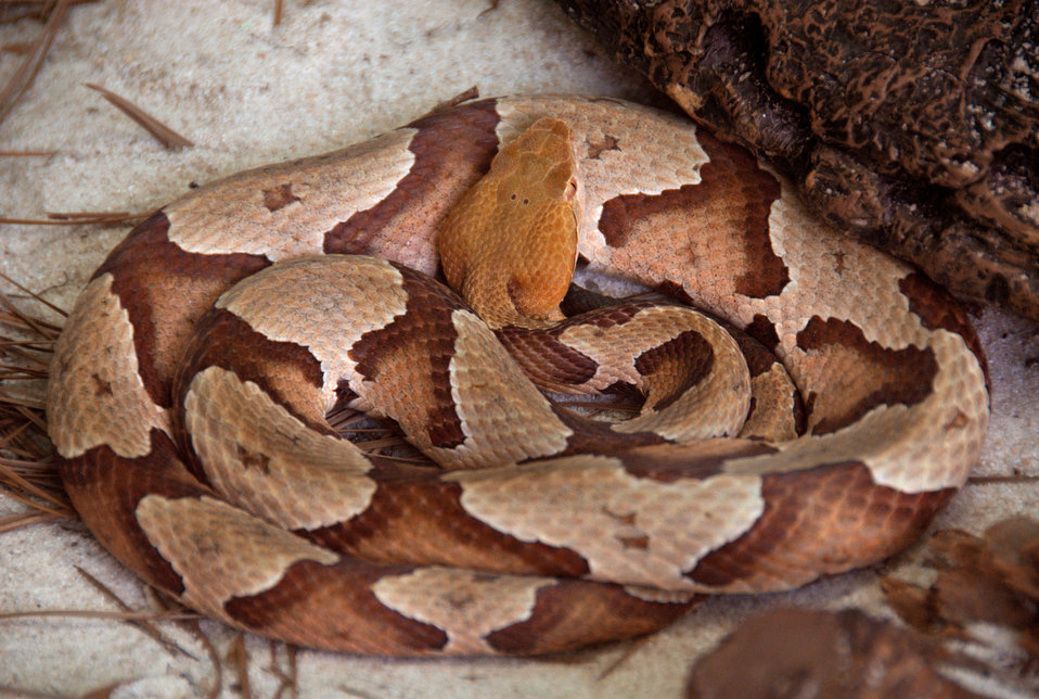 This 2008 photograph depicted an adult venomous 'Southern copperhead' snake, Agkistrodon contortrix, as it was coiled in its natural Costal