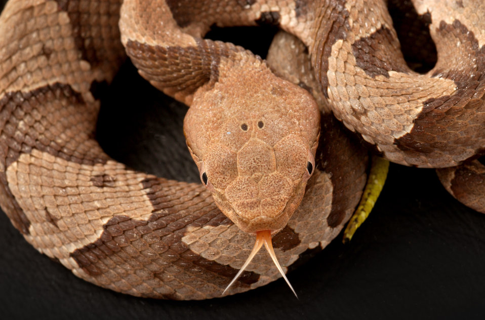 This 2008 photograph depicted a juvenile venomous 'Southern copperhead' snake, Agkistrodon contortrix, as it was coiled in a Decatur, Georgi