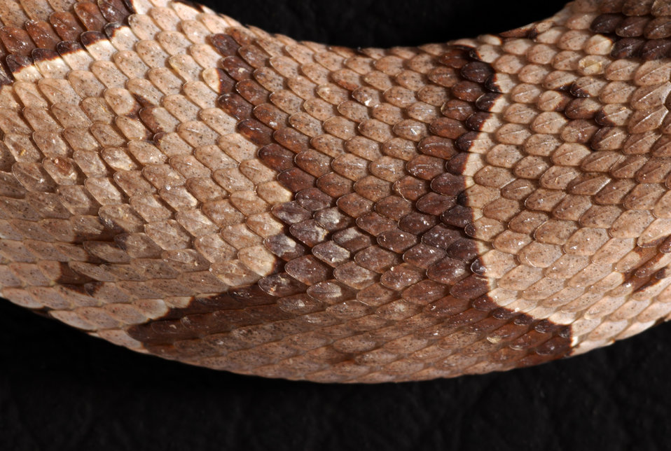 From a closer perspective, this 2008 photograph revealed a detailed view of a juvenile venomous 'Southern copperhead' snake's, Agkistrodon c