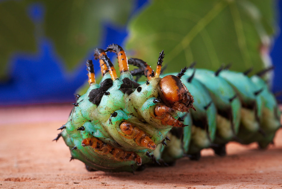 This 2008 image depicts a anterior inferior view of a Hickory Horned Devil caterpillar's head region, as the creature was rising up on its t
