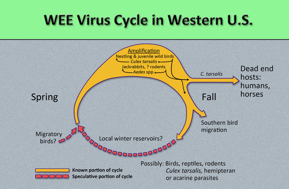 This diagram illustrates the methods by which the arbovirus, Western equine encephalitis virus (WEEV) reproduces and amplifies itself  in bo