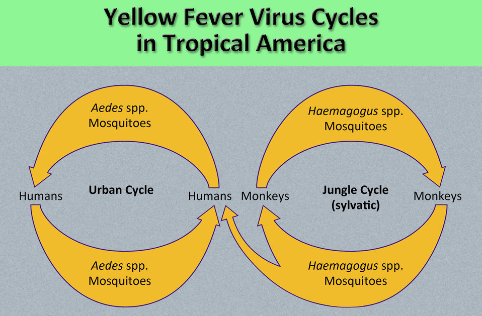 This diagram illustrates the methods by which the arbovirus, yellow fever is transmitted to humans and non-human primate hosts by Aedes spp.