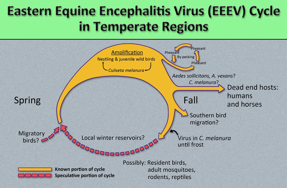 This diagram illustrates the methods by which the arbovirus Eastern equine encephalitis virus (EEEV) reproduces and amplifies itself in avia