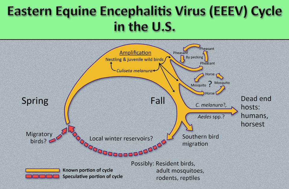 eastern and western equine encephalitis Eastern equine encephalitis, also known as sleeping sickness, is a viral disease that affects horses, some other animals, and humans eee occurs in the eastern half of the united states, most commonly on the eastern seaboard and the gulf coast.