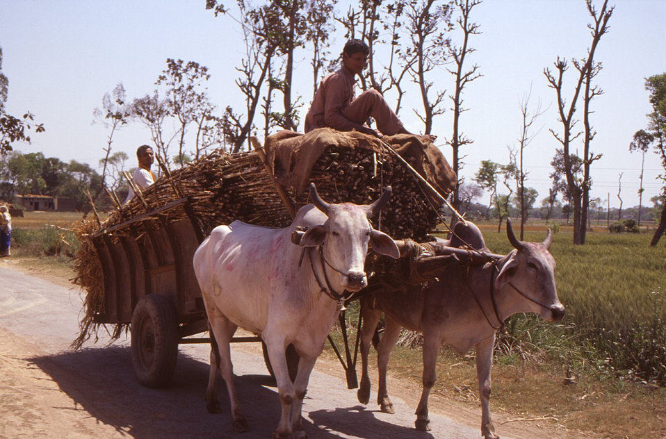 Transport of much of India's produce by way of ox-drawn cart is still practiced today. However, note the rubber tubed tires, which are used