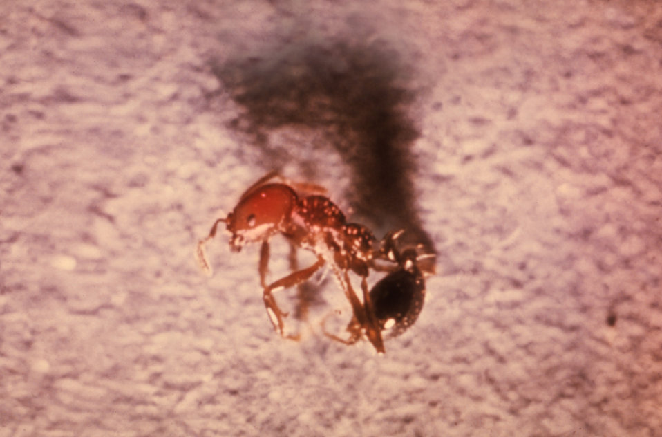 This is a Red Imported Fire Ant, Solenopsis invicta, formerly known as Solenopsis saevissima var. richteri.