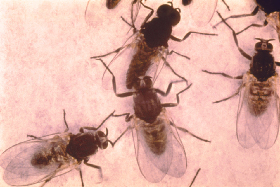 These are Simulium sp. of flies, or 'black flies', a vector of the disease, onchocerciasis, or 'river blindness'.