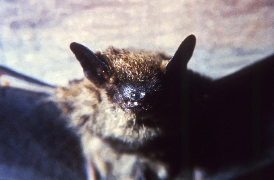 A brown bat