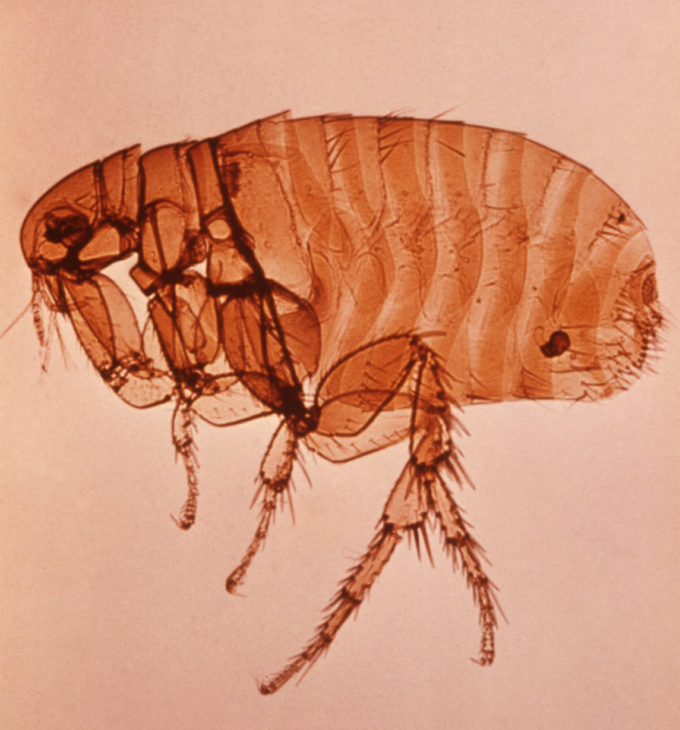 This is an enlargement of a female Xenopsylla cheopis flea, also known as the 'oriental rat flea'.