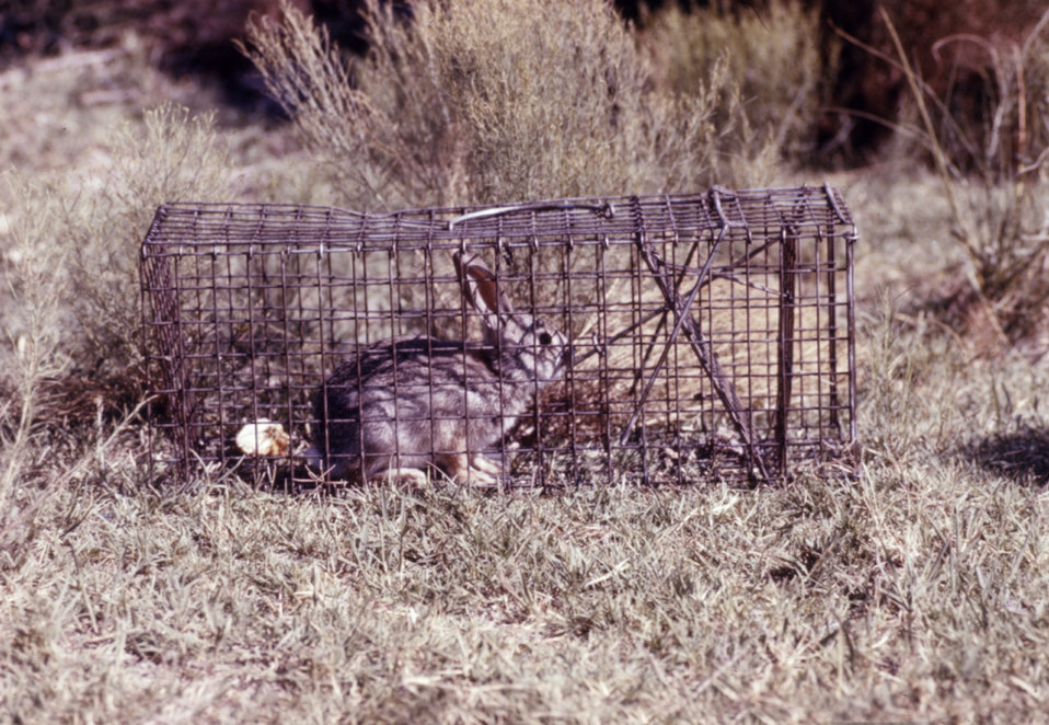 This rabbit was caught in a National Trap�, and was later tested during an arbovirus study.