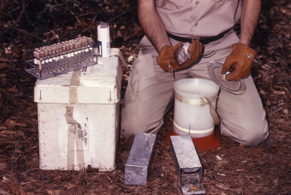 This field clinician is shown handling an anesthetized rat that was tested during a 1974 arbovirus study.