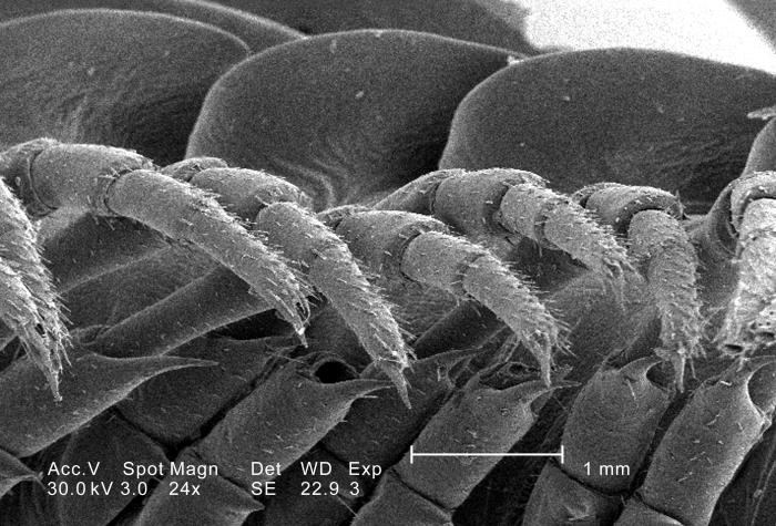 This scanning electron micrograph (SEM) depicted a magnified infero-oblique view of the trunk region of an unidentified millipede found outs