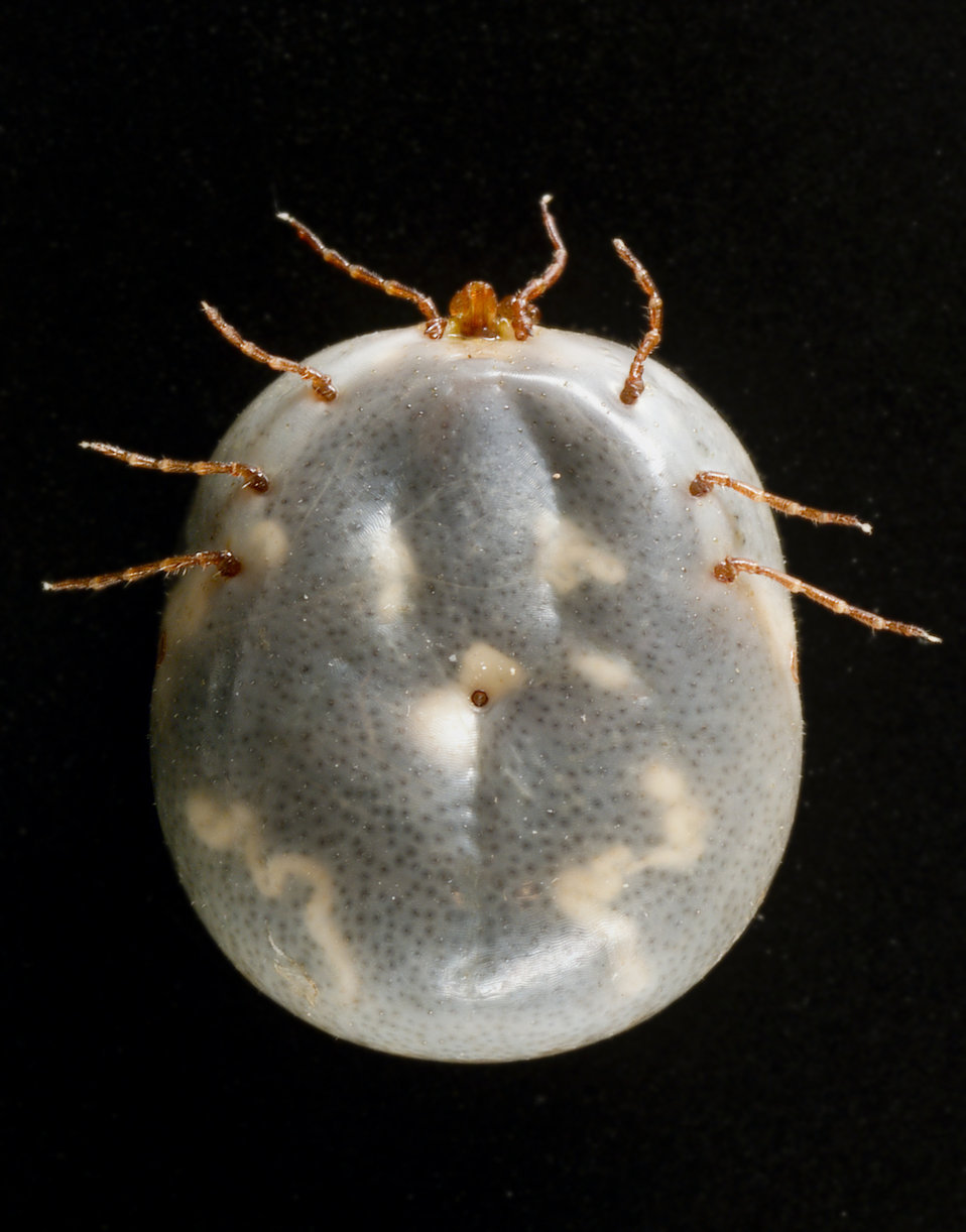 "This photograph depicted ventral view of an engorged female ""lone star tick"" Amblyomma americanum. An Ixodes or ""hard"" t"