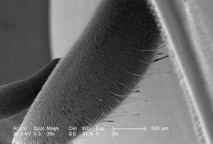 Under a low magnification of only 38X, this scanning electron micrograph (SEM) depicted the exoskeletal appearance of the femur of the first