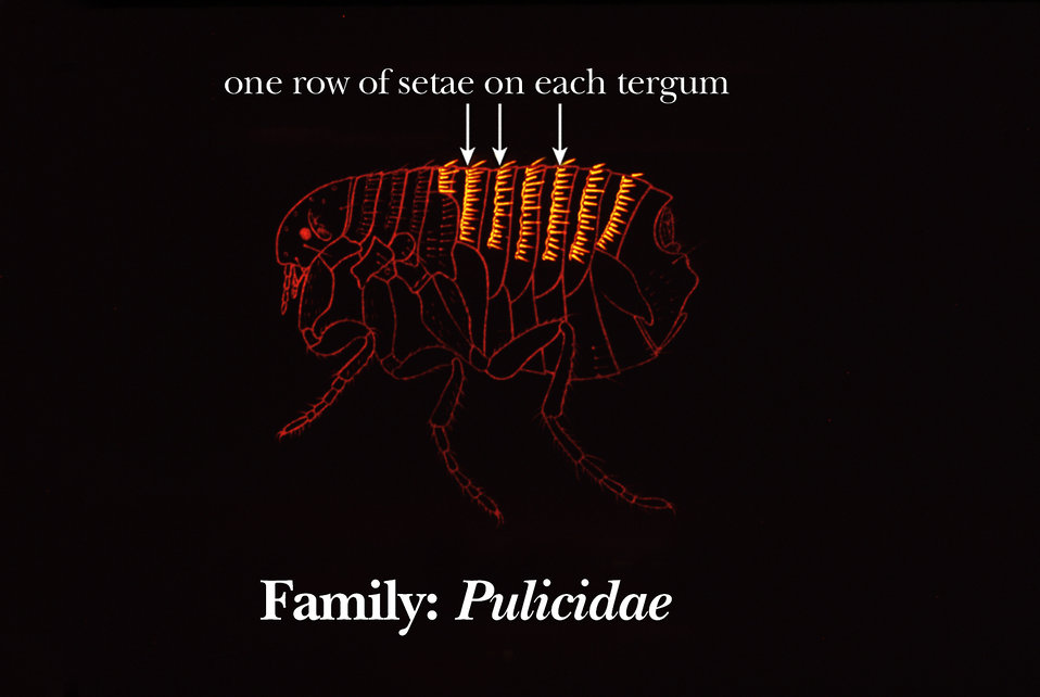 Fleas in the family Pulicidae are distinguished by the presence of one row of setae on each of their abdominal terga.