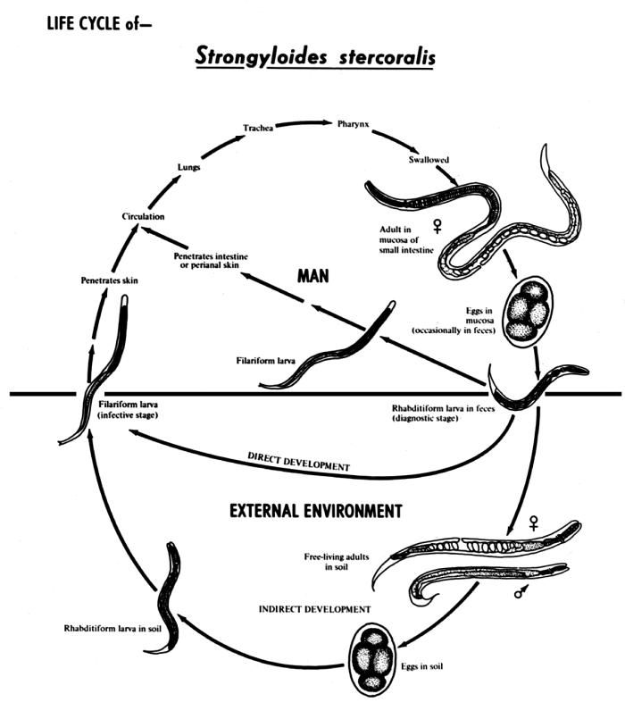 This diagram depicts the various stages in the life cycle of the Strongyloides stercoralis nematode.
