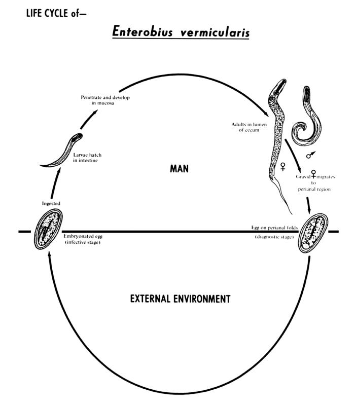 This diagram depicts the various stages in the life cycle of the human pinworm nematode Enterobius vermicularis.