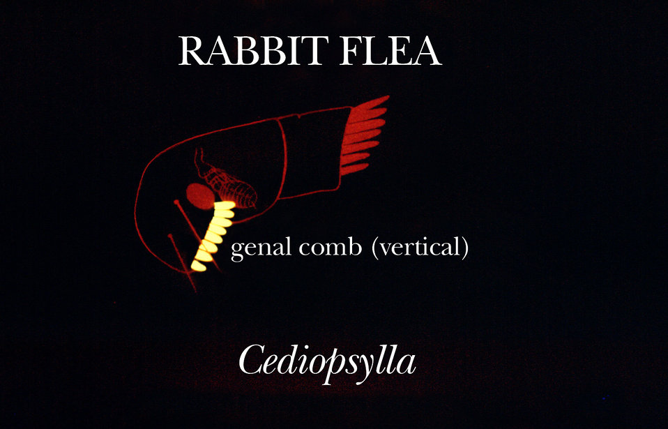 This illustration shows one of the identifying characteristics found on the rabbit flea from the genus Cediopsylla.
