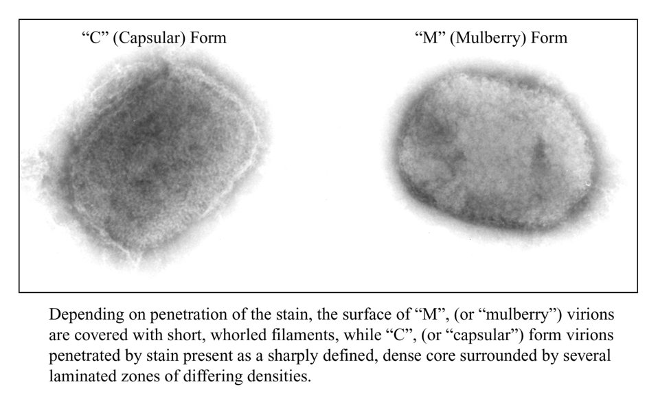 Here a negative stain electron micrograph demonstrates the two forms of the brick-shaped monkeypox virus from a cell culture.