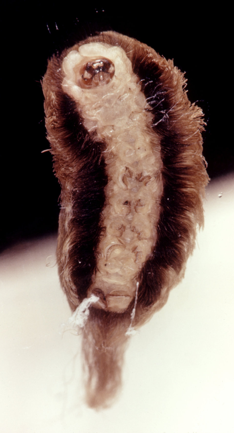 This is a ventral view of a puss caterpillar, Megalopyge opercularis, an urticating, or hive-producing caterpillar.