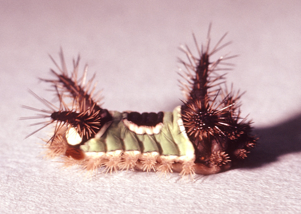 This is a lateral view of a saddleback caterpillar, Sibine stimulae, an urticating, or hive-producing caterpillar.
