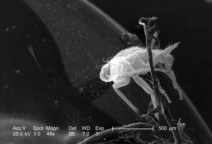 At this relatively low magnification of 48x, this scanning electron micrograph (SEM) revealed the presence of a small, unidentified insect o
