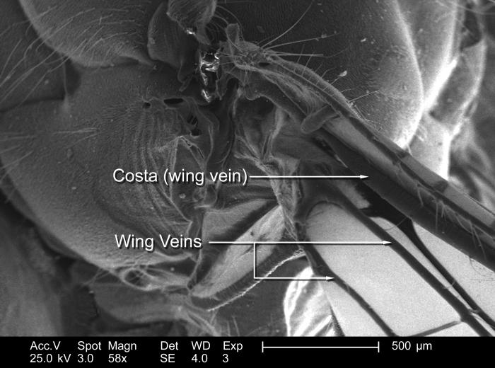 Magnified 58x, this scanning electron micrograph (SEM) depict some of the morphologic details found associated with the wing attachment of a