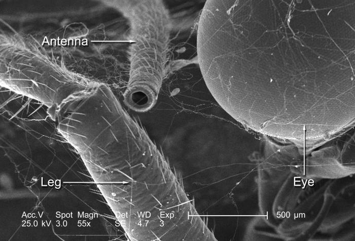Included in this scanning electron micrographic (SEM) view, magnified 55x, were aspects of the eye, antenna, and jointed leg of an unidentif