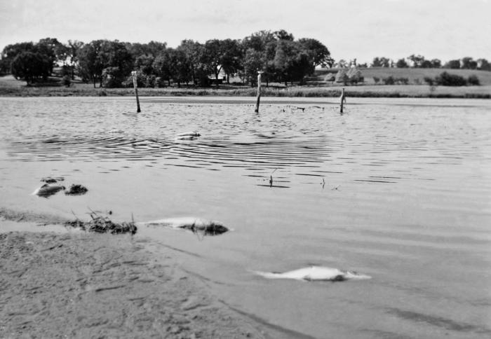 This historic August, 1937 photograph depicted a number of dead fish in Minnestoa's Cokato Lake at the outlet of the lake's main tributary,